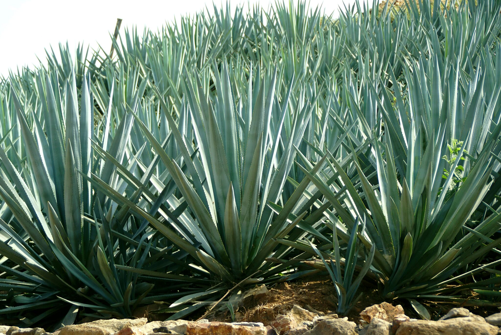 Blue Agave Tequila Plant 10 Agave Facts You Did...